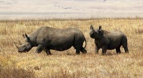 黑色火山口比赛异常分支有嘴ngorongoro犀牛 免版税库存图片