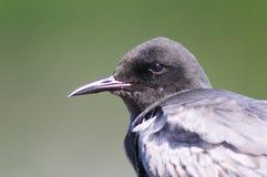 黑色燕鸥 库存照片