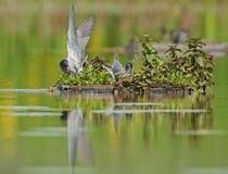 黑色燕鸥(Chlidonias尼日尔) 免版税库存照片