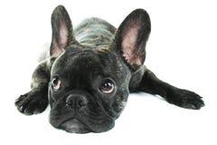 黑色牛头犬法语 免版税库存照片