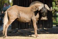黑色牛羚被盯梢的空白角马 免版税库存图片