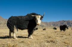 黑色牦牛 库存照片