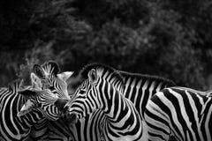 黑色牧群白色斑马 免版税库存照片