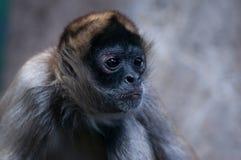 黑色特写镜头递了猴子蜘蛛 库存图片