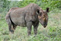 黑色犀牛身分 免版税库存图片