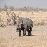 黑色犀牛 图库摄影
