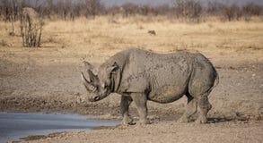 黑色犀牛 免版税库存照片