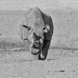 黑色犀牛 免版税图库摄影