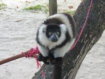 黑色狐猴白色 库存照片