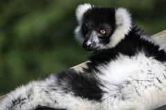 黑色狐猴白色 免版税库存图片