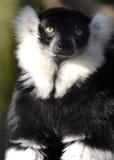 黑色狐猴纵向ruffed白色 免版税库存图片