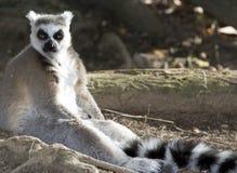 黑色狐猴马达加斯加尾部有环纹的白&# 免版税库存照片