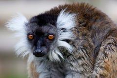 黑色狐猴 免版税图库摄影