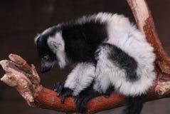 黑色狐猴ruffed白色 库存图片