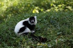 黑色狐猴ruffed白色 免版税库存照片
