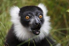 黑色狐猴ruffed白色 图库摄影