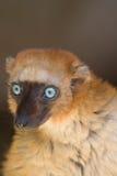 黑色狐猴s sclater 免版税库存照片