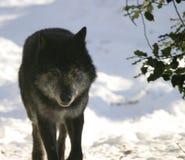 黑色狼 免版税库存照片
