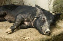 黑色猪休息 免版税图库摄影