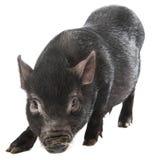 黑色猪 免版税图库摄影