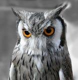 黑色猫头鹰白色 免版税库存图片