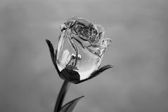 黑色玫瑰白色 库存图片