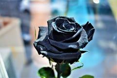 黑色玫瑰,玻璃背景II 图库摄影