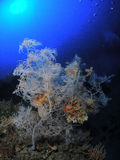 黑色珊瑚 库存照片