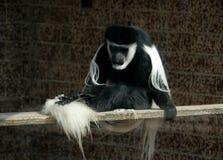 黑色疣猴白色 库存照片