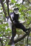 黑色疣猴guereza猴子白色 库存图片