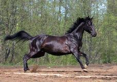 黑色疾驰的马 免版税库存图片