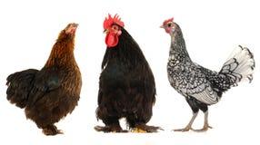 黑色的雄松鸡母鸡 库存图片
