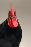 黑色的雄松鸡 库存照片