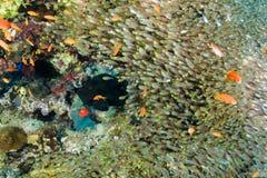 黑色石斑鱼和glassfish 库存照片