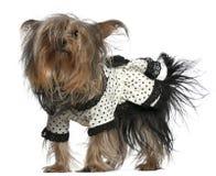 黑色礼服狗佩带的空白约克夏 免版税图库摄影
