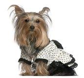 黑色礼服狗佩带的空白约克夏 库存图片