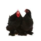 黑色科钦母鸡雄鸡 库存图片