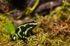 黑色箭青蛙绿色毒物 免版税库存图片