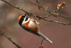黑色红喉刺莺的山雀 库存图片