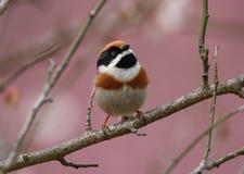 黑色红喉刺莺的山雀 免版税库存照片