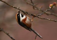 黑色红喉刺莺的山雀 免版税库存图片