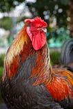 黑色红色雄鸡 库存照片
