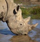 黑色纳米比亚犀牛 图库摄影