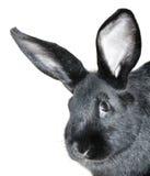 黑色纵向兔子 图库摄影
