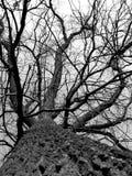 黑色结构树白色 库存图片
