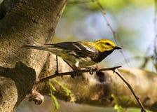 黑色绿色红喉刺莺的鸣鸟 免版税库存图片