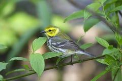 黑色绿色红喉刺莺的鸣鸟 库存照片