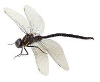 黑色绿色蜻蜓 免版税库存照片