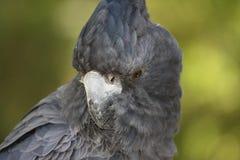 黑色美冠鹦鹉 免版税库存照片