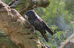 黑色美冠鹦鹉 库存照片